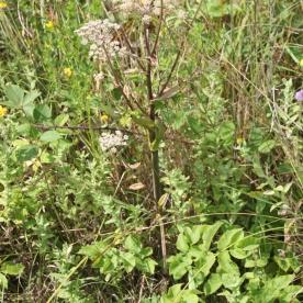 Hogweed (Heraculeum sphondylium)