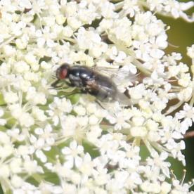 Housefly (Muscidae species - Polietes lardarius)