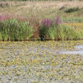 Yellow Iris and Water Dock (Iris pseudacorus & Rumex hydrolapathum)