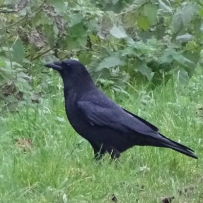 Jackdaw (Corvus monedula