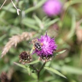 knapweed with Honey Bee (Apis mellifera)