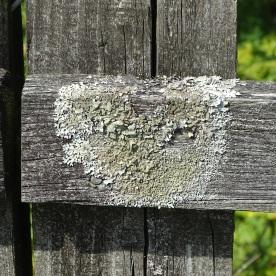 Common Greenshield (Flavoparmelia caperata)