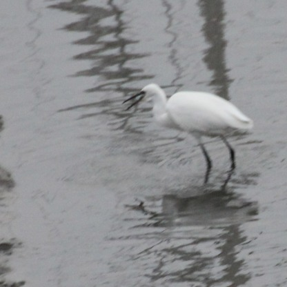 Little Egret with fish ( Egretta garzetta)