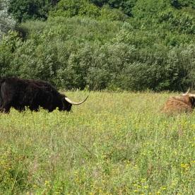 Long-horn Cattle (Bos primigenius)