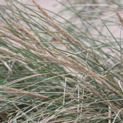 Marram-grass (Ammophila arenaria)