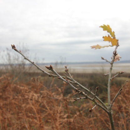 Oak (Quercus rubra)