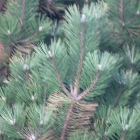 Pines (Pinus species)