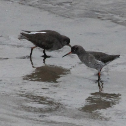 Redshank male and female (Tringa totanus)