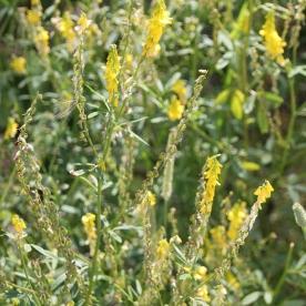 Ribbed Melilot (Melilotus officinalis)