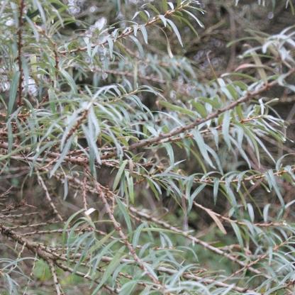 Sea-buckthorn (Hippophae rhamnoides)
