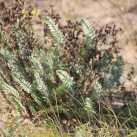 Sea Spurge (Euphorbia paralias)