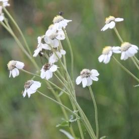 Sneezewort (Achillea ptarmica)