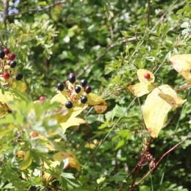 Tutsan Shrub (Hypericum androsaemum)