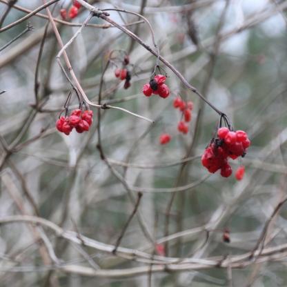 Guelder-rose (Viburnam)(Snowball Tree (Viburnum opulus)