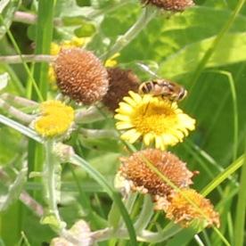 Fleabane with Wasp (Vespidae species)