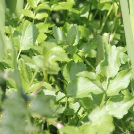Watercress (Rorippa nasturtium-aquaticum)