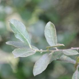 Willow (Goat) (Salix caprea)