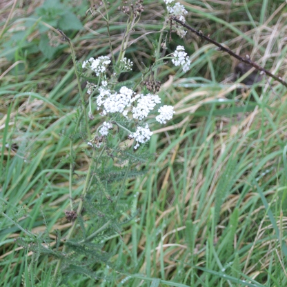 Yarrow (Achillea millefollium)