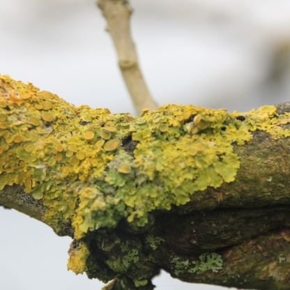 Golden Shield Lichen (Xanthoria parietina)