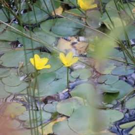 Water lily (yellow) (Nuphar lutea)