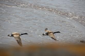 Geese below us