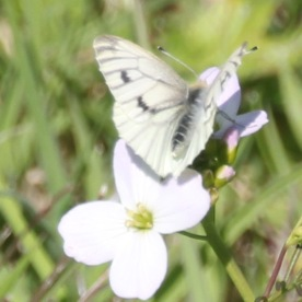 Green-veined White (Artogeia napi)