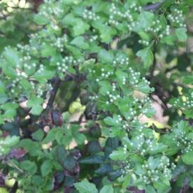 Hawthorn in bud (Crataegus monogyna)