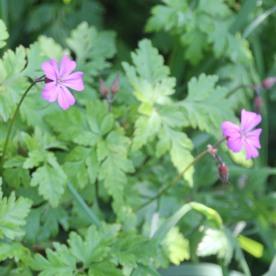 Herb Robert (Geranium robertianum)
