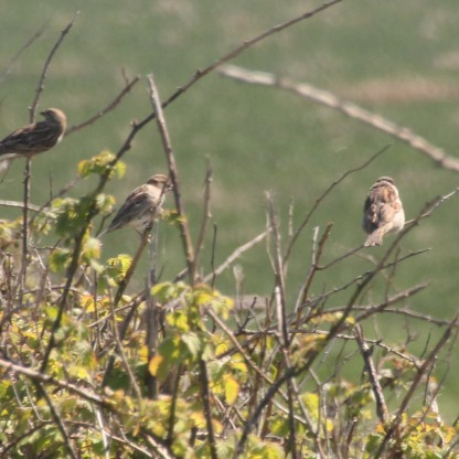 House Sparrows in the hedges