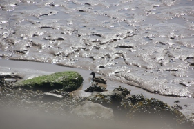 Mallard in the mud