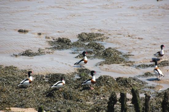 Shellduck in the seaweed