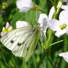 Green-veined White (Artogeia napi)