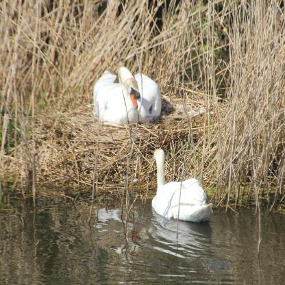 Swans nest 2