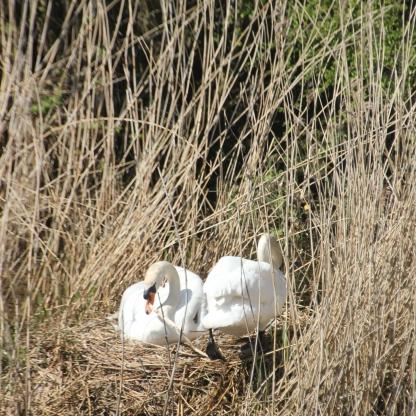 Swans nest 3