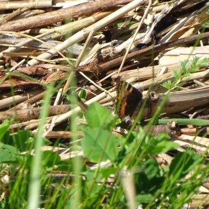 Small Tortoiseshell (Nymphalis urticae)