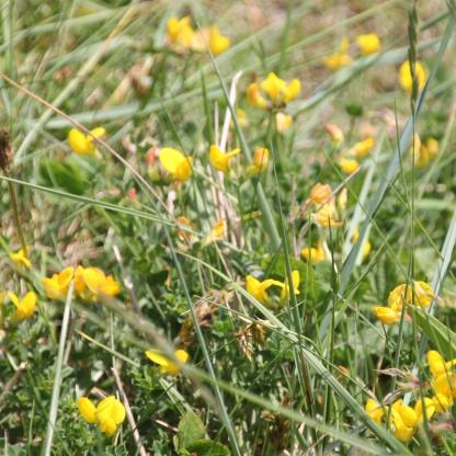 Bird's-foot Trefoil (Lotus corniculatus0