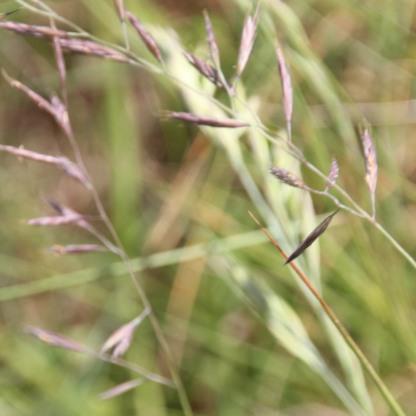 Black Bent (Agrostis gigantea)
