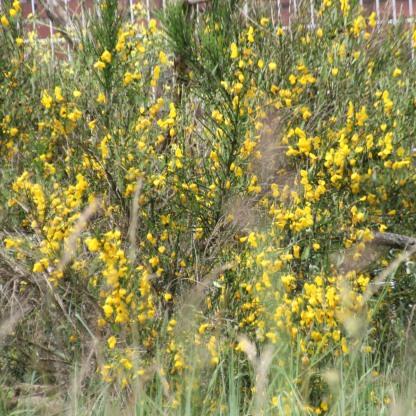 Broom (Cytisus scoparius)