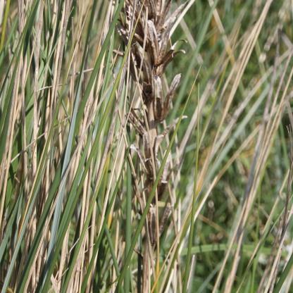 Evening Primrose husks (Oenothera erythrosepala)