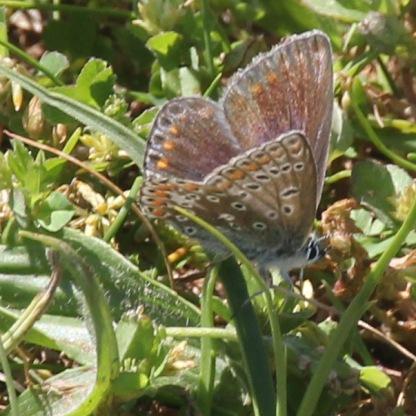 Female Common Blue (Polyommatus icarus)
