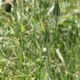 Goat's Beard (Heraculeum mantegazzianum)