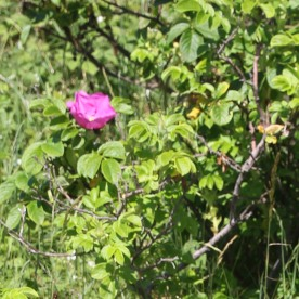 Japanese Rose (Rosa rugosa)