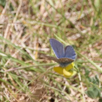 Male Common Blue (Polyommatus icarus)