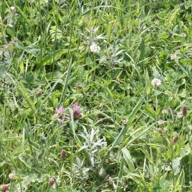 Red & White Clover (Trifolium pratense &Trifolium repens)