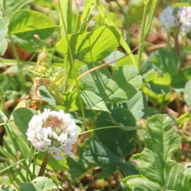 Strawberry clover ( Trifolium fragiferum)