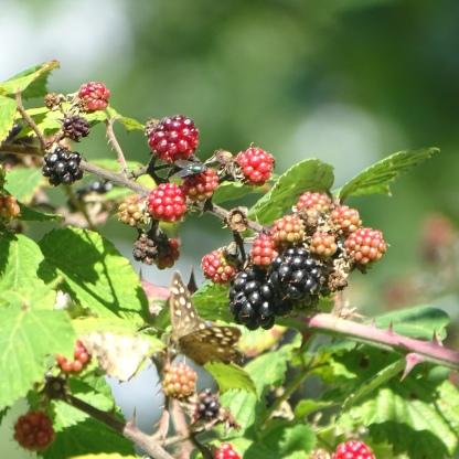 Brambles Blackberries (Rubus fructicosus)