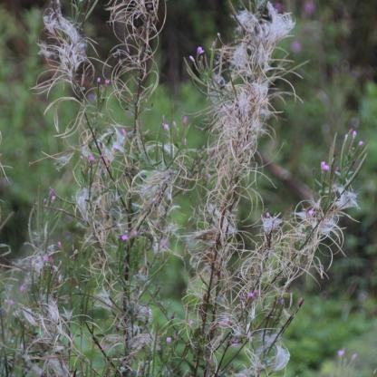 Great Willowherb (Epilobium hirsutum)