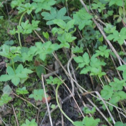 Ground Elder (Aegopodium podagaria)