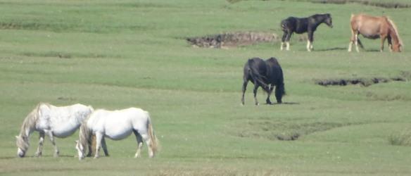 Horses on Saltmarsh