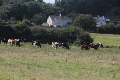 Field of Cattle and Llandimore Village in Background